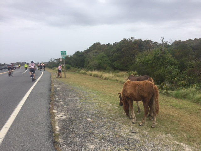 Wild horses on Assategague